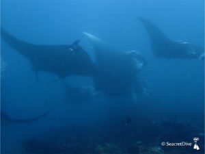raies-manta-ballet-maldives-seacretdive