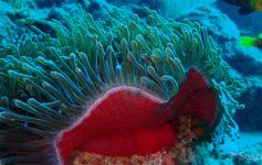 Anémone magnifique en forme de bouche rouge