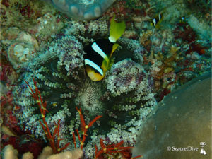 poisson-clown-clark-anemone-collier-perles-maldives-seacretdive