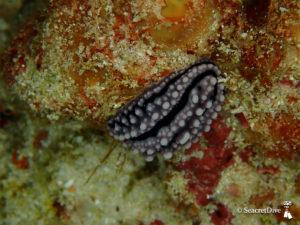 phyllidie-ceylan-maldives-seacretdive