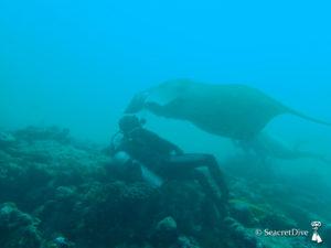 raie-manta-maldives-seacretdive