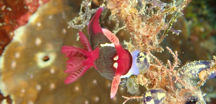 Nudibranche Nembrotha chamberlaini, image de mise en avant pour le carnet de plongée des Philippines